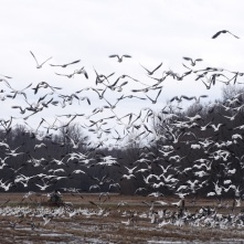 Snow Geese take flight 1