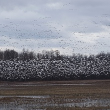 Snow Geese take flight 2