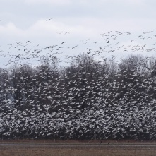 Snow Geese take flight 3
