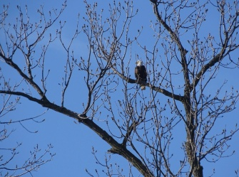 Bald eagle looking out over the river
